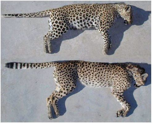 Cheetah Vs Leopard Vs Jaguar Vs Panther